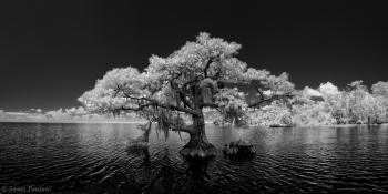 Blue Cypress Pano