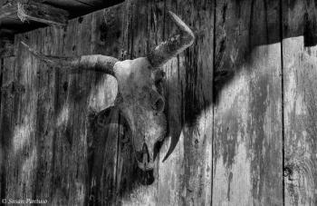 Cow Skull on Barn Wall