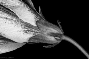 Hibiscus in Monochrome