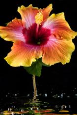 Hibiscus in Water