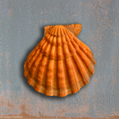 Orange Scallop