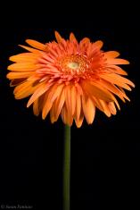 Orange Sherbet II