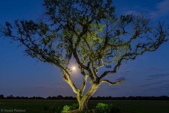 Moonlit Oak