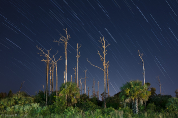 Star Trails and Pines