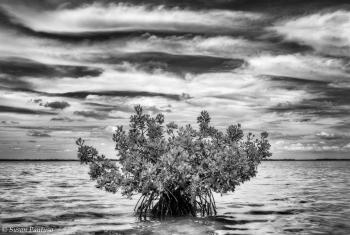 The Lone Mangrove