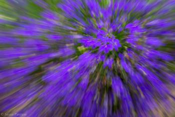 Purple Pansy Explosion