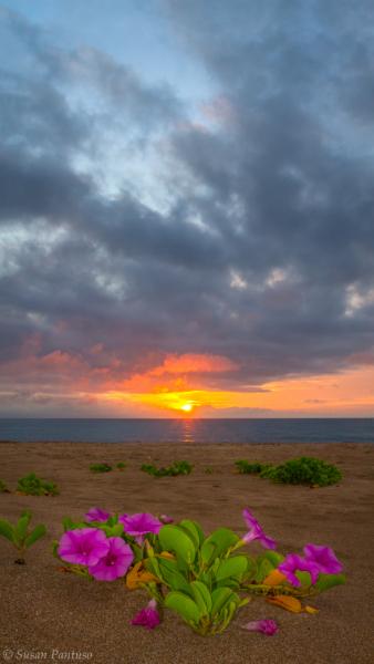 Beachside Morning Glory