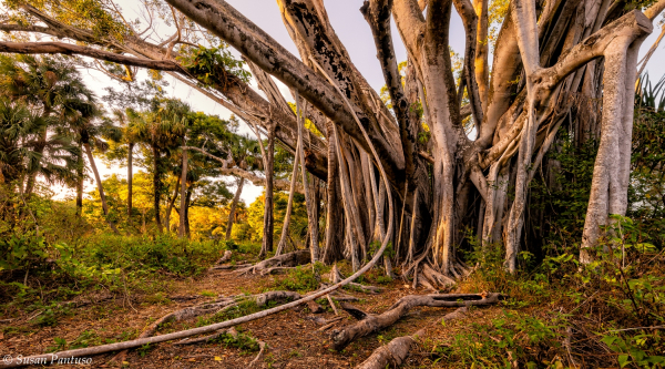 Under the Banyan