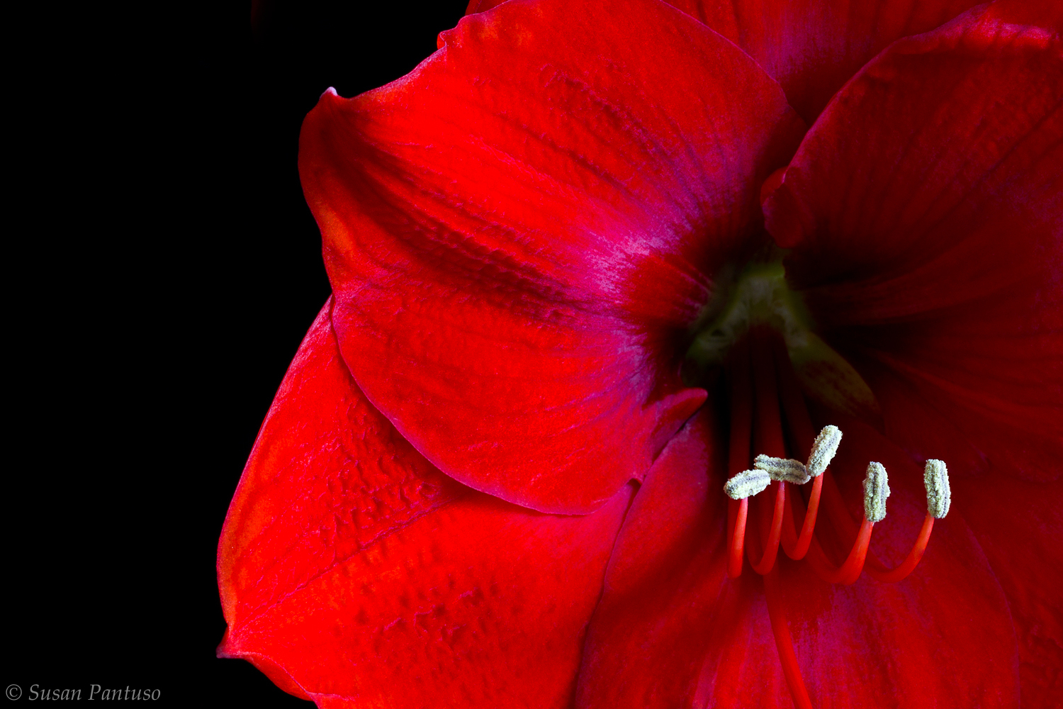 Amaryllis Special